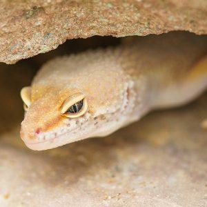 cueva para gecko